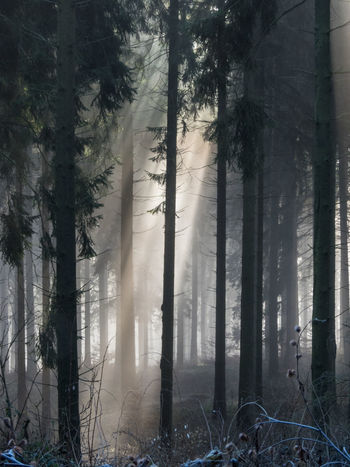 Dunst Lichtstrahlen Sonnenstrahlen Strahlen Nebel Stimmung Beauty In Nature Branch Day Fichtenwald Forest Forst Growth Hochwald Landscape Nature No People Outdoors Scenics Tranquil Scene Tranquility Tree Tree Trunk