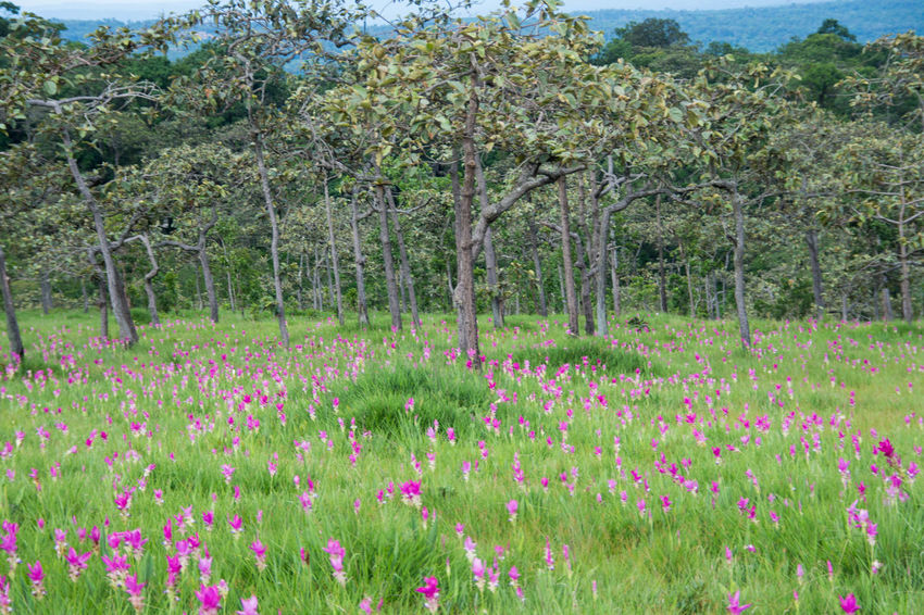 Pink field of Siam tulip at Chaiyaphum Province, Thailand. Beauty In Nature Day Flower Flower Head Freshness Grass Green Color Growth Landscape Multi Colored Nature No People Outdoors Pink Color Plant Rural Scene Scenics Siam Tulip Sky Springtime Tree Wildflower