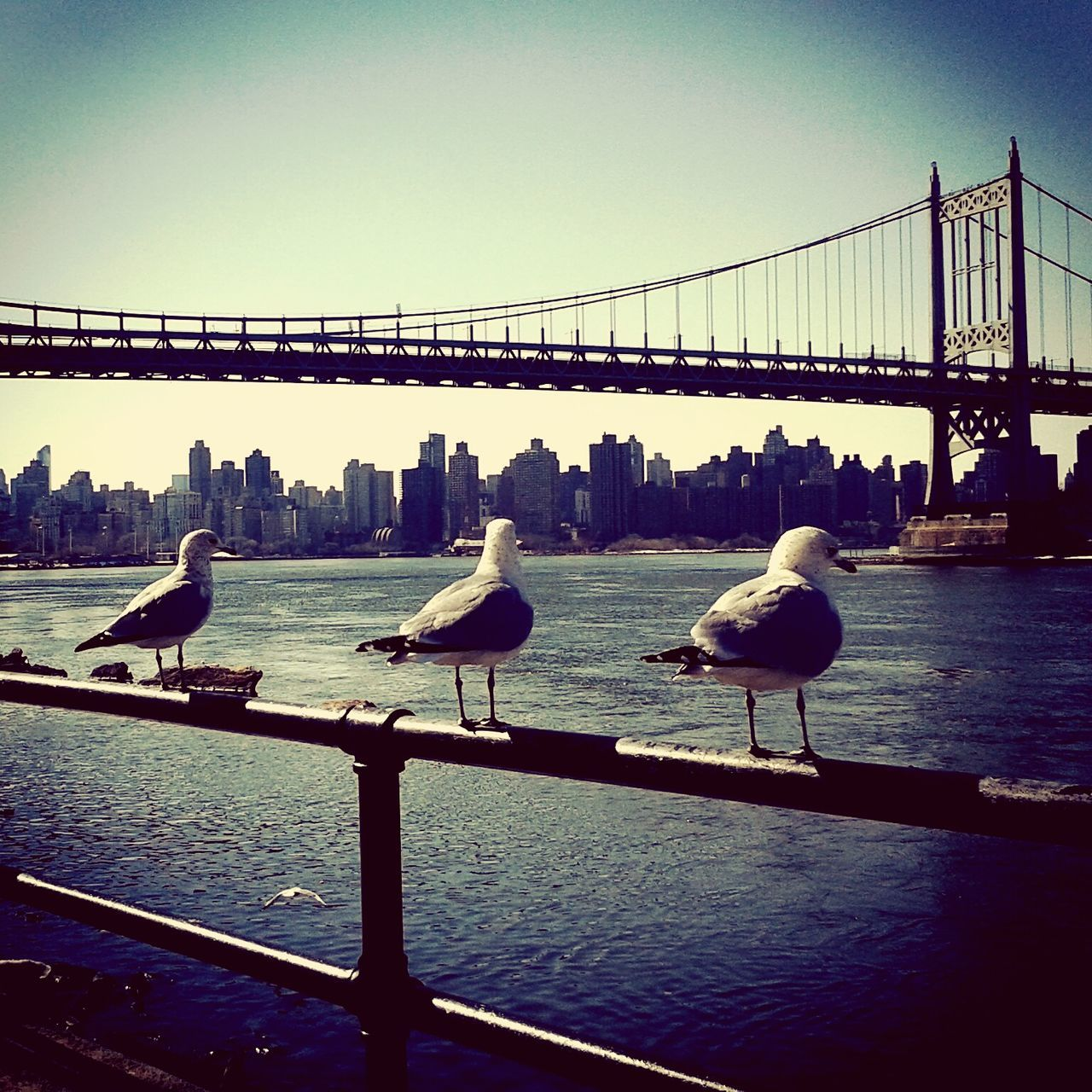 bird, animals in the wild, animal themes, seagull, water, railing, bridge - man made structure, connection, river, clear sky, animal wildlife, suspension bridge, architecture, bridge, perching, large group of animals, built structure, nature, day, outdoors, no people, flock of birds, sea bird, sky, city