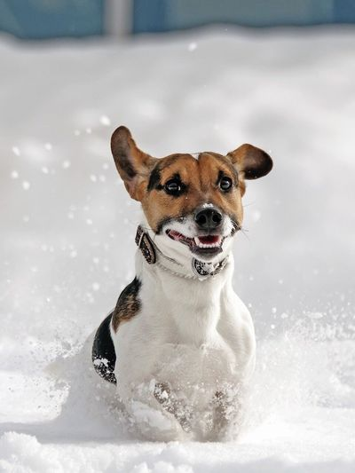 Jack Russell Dog Snow Anymal Dog Portrait Pet Portraits Pet Photography
