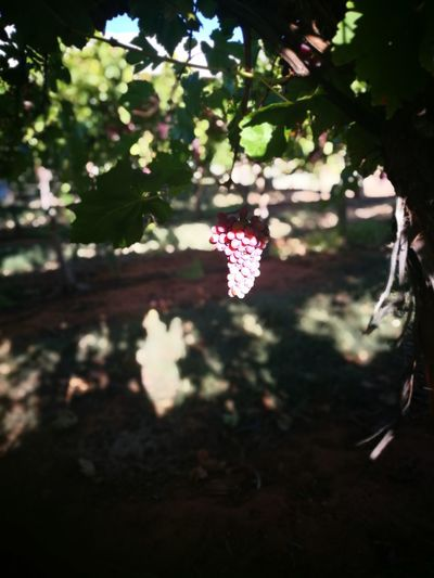 Picking grapes Tree Flower Branch Flying Butterfly - Insect Celebration Pink Color Hanging Close-up