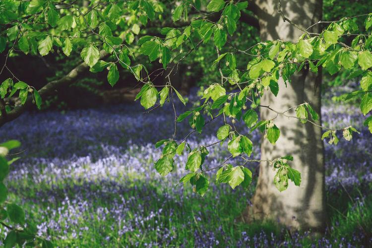 Tree at bluebell field