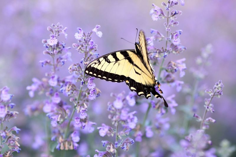 A butterfly among purple. Flower Insect Flowering Plant Animal Themes Animal Invertebrate Animal Wildlife Animal Wing Butterfly - Insect Beauty In Nature Fragility Nature