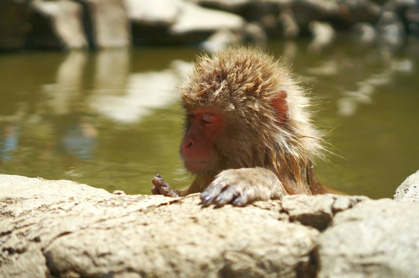 Animals In The Wild Animal Themes Monkey Mammal Animal Wildlife Nature Outdoors Day Water No People Snow Monkey Hot Spring