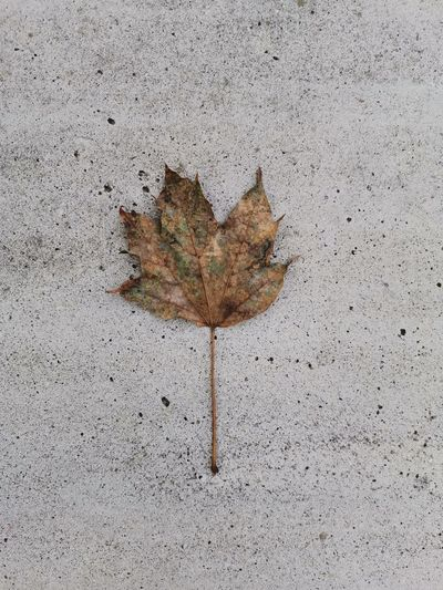 High angle view of dry maple leaf on concrete