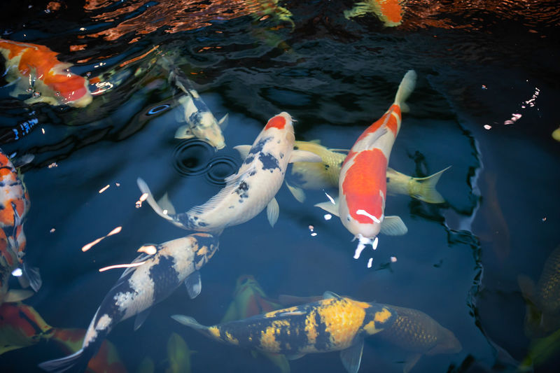 Many koi fish swim in the pond.soft focus. School Of Fish Outdoors Medium Group Of Animals No People Nature Marine Sea Life Carp Lake Underwater Koi Carp Fish Animal Wildlife Animals In The Wild Animal Themes Animal Vertebrate Group Of Animals Swimming Water Floating In Water Adult Animal Swimming Animal Whale Shark Tropical Fish Clown Fish Jellyfish Diving Suit