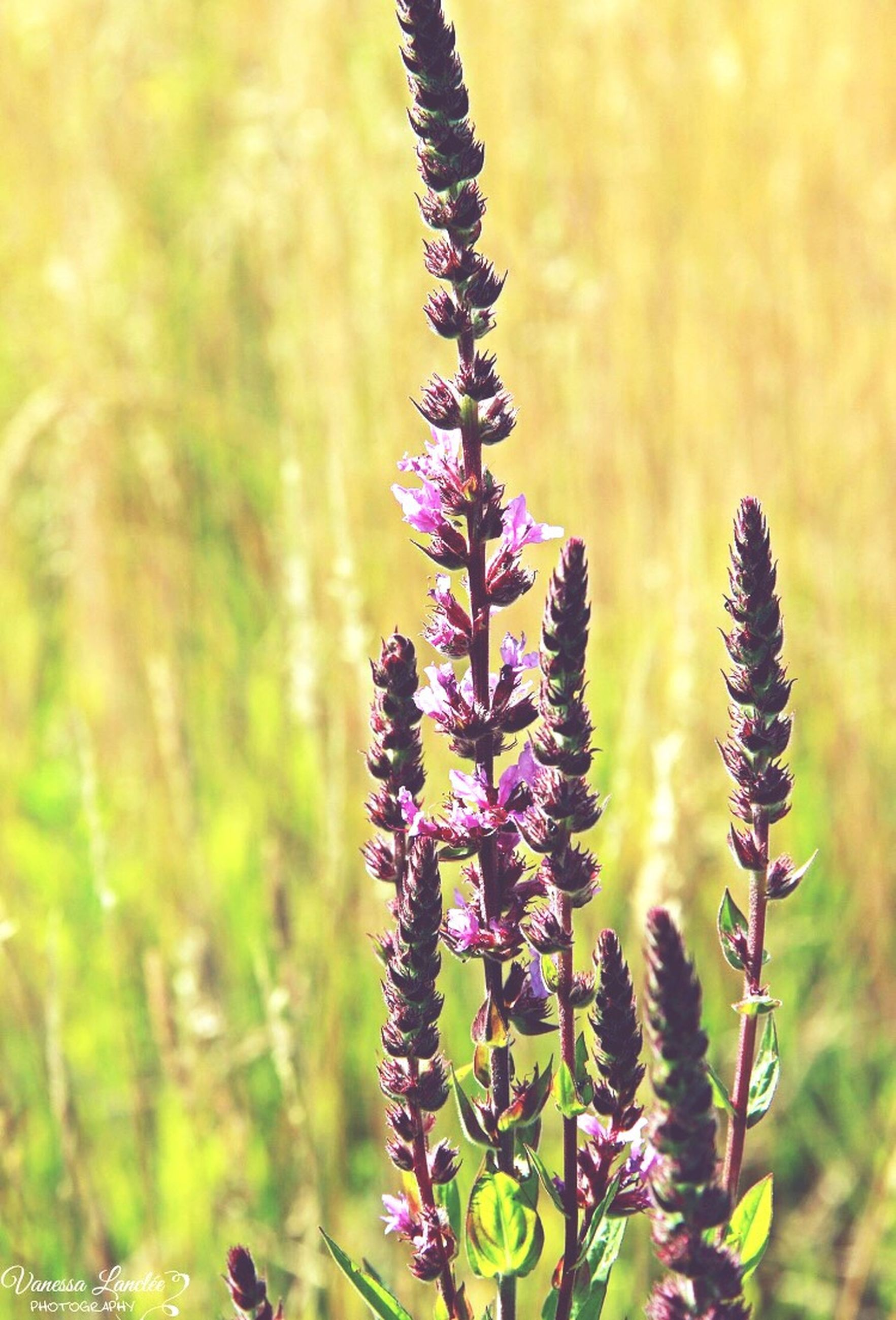 nature, flower, plant, growth, beauty in nature, purple, no people, fragility, close-up, outdoors, field, flower head, wildflower, day, thistle, lavender, grass, freshness