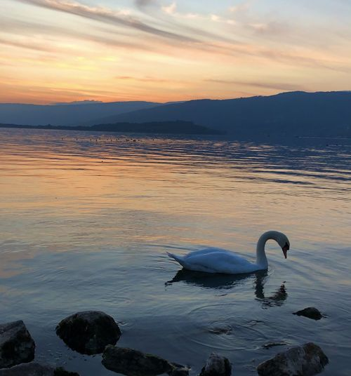 Swan swimming in lake during sunset
