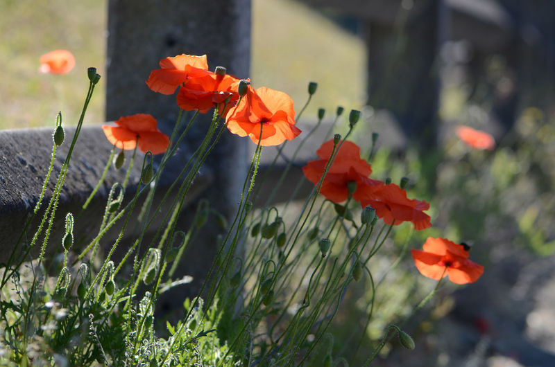Concrete Fence Flower Flower Head Flowering Plant Outdoors Petal Plant Poppies  Poppy Red Selective Focus Weeds Botany
