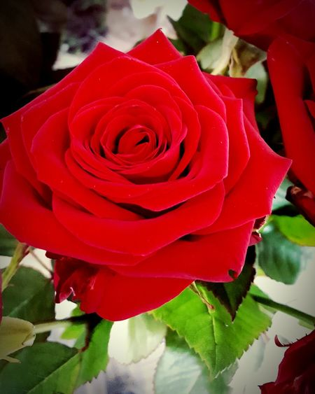 Red Rose 🌹 Red Red Color Naturephotography Nature Is Art Nature Beauty Nature Amazing Beauty Perfection❤❤❤ Roses As A Gift Roses, Flowers, Nature, Garden, Bouquet, Love, Roses World 🌹❤️🌹