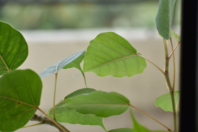 Ficus religiosa in my balcony Leaf Nature Green Color Plant Growth Animal Wildlife Close-up No People Outdoors Beauty In Nature Day Fragility Freshness Tree Ficus Religiosa