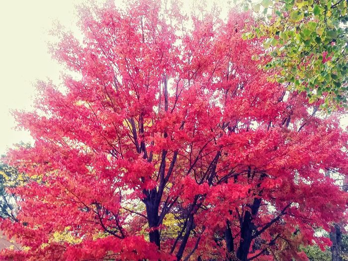 A tree with red leaves during the fall colors season 2017 Nature Beauty In Nature Red Sky Tree Outdoors Seasonal Photography @wmpresley Seasonal ©@wlliampresley Autumn Foilage Rojo Nature Photography Foilage Plant Nature Shots Nature Collection ©w Presley Red Scenics Leaf Autumn Beauty In Nature Nature Photos🐾 Nature Photography, nature photos