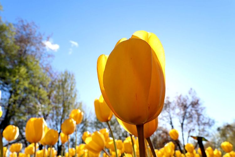 Tulips at Dows LakeNature Yellow Sky Plant Bright Flower Outdoors Sunlight Beauty In Nature Blue Summer Low Angle View Close-up Day Freshness Flower Head Tulips🌷 Tulips Flowers Paint The Town Yellow