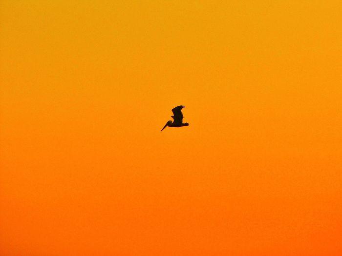 Silhouette Bird In Flight Sea Life California Pacific Ocean Imperial Beach