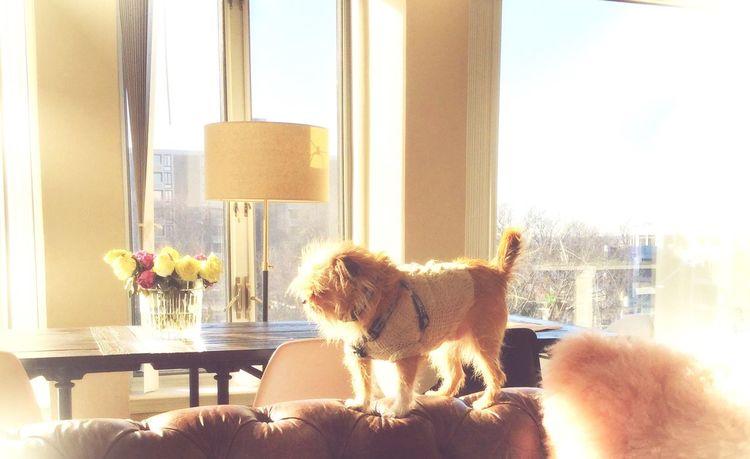 Brussels Griffon Brussels❤️ Everydayimbrusseling Dogslife Dayinthelife Washington, D.C. Citydog AdoptDontShop Tbone 2Chains Dogs Of EyeEm