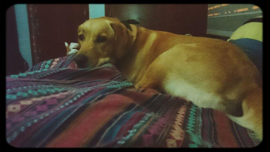 Dog Labrador Sisterdog First Eyeem Photo
