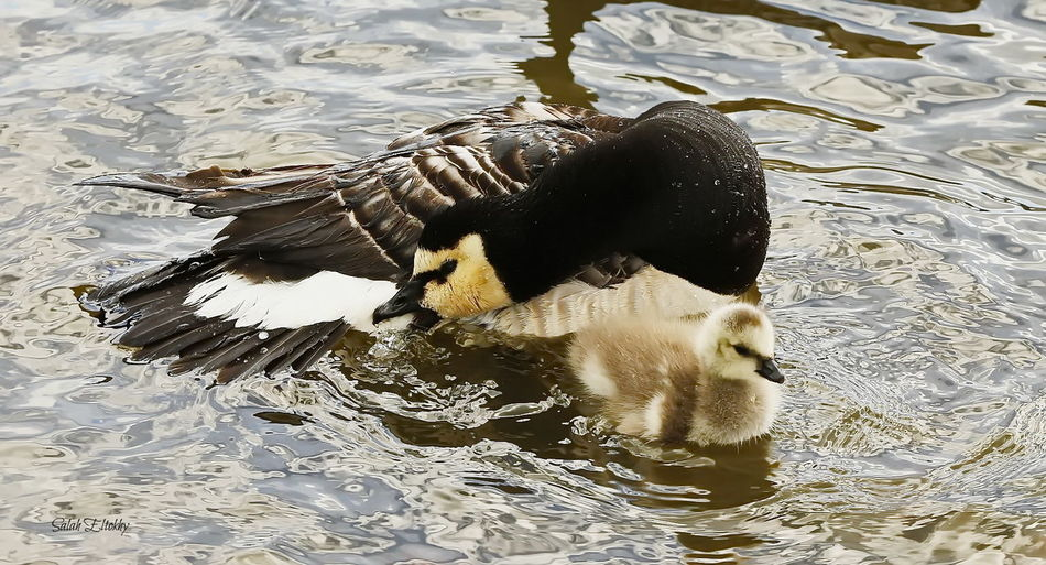 Animal Themes Animal Wildlife Animals In The Wild Bird Day Duck Duckling Floating In Water High Angle View Lake Nature No People Outdoors Rippled Swimming Togetherness Water Water Bird Waterfront Young Animal Young Bird