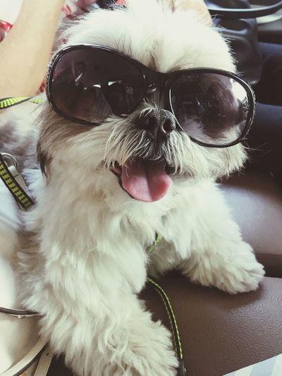 Hello there! Smile Dog Fashion Shihtzu Canine Pets Dog One Animal Domestic Animal Themes Mammal Close-up Glasses