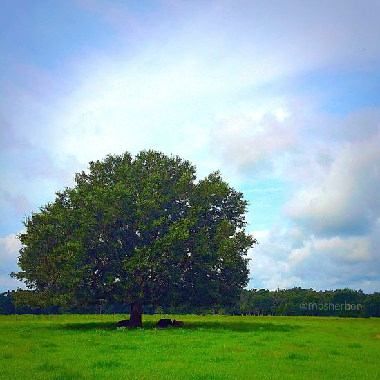 Trees Pasture Cows Backroads Explore Florida Clouds And Sky Field Landscape Wideopenspaces