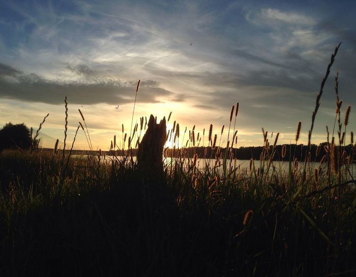 Stunning Sunset Sunset Danube Tulln Austria Dog Grass Silhouette Tranquil Scene Scenics Majestic Outline Germanshepherd Blackgermanshepherds Austria ❤