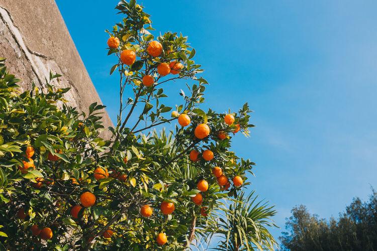 Low angle view of orange tree