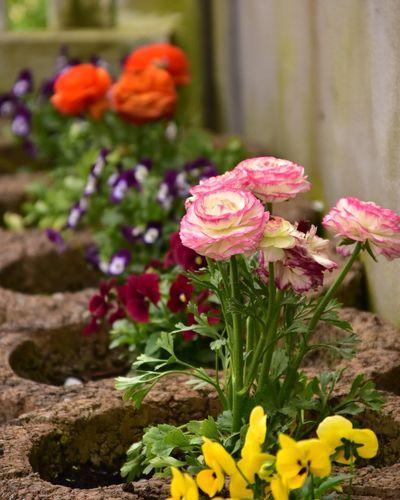 Flower Head Flower Flowerbed Springtime Pink Color Front Or Back Yard Close-up Plant