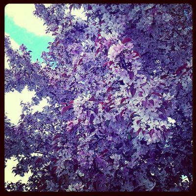 2012.4.10 Spring Treeblossoms Purple Instagram Instamood eavig Instanation Wisconsin Beautiful