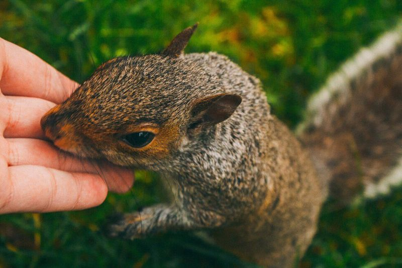 Close-up of cropped hand touching squirrel on field