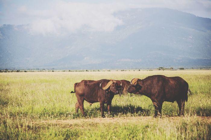 Naturelovers Kenya Safaripark Wildanimal Tsavo Buffalo