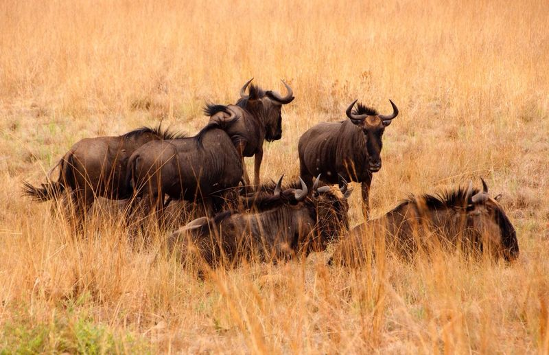 Herd of wildebeest on grassy field