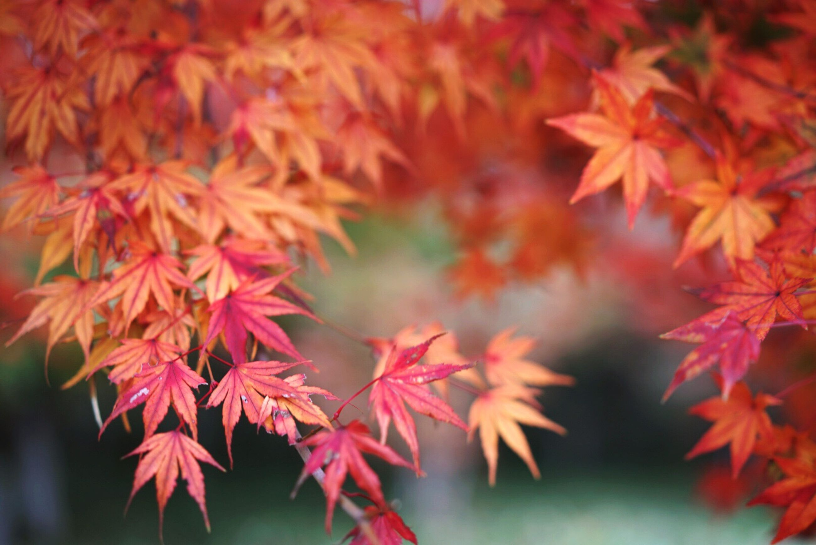 autumn, change, red, season, leaf, branch, growth, tree, orange color, beauty in nature, nature, focus on foreground, close-up, selective focus, leaves, day, tranquility, outdoors, fragility, vibrant color