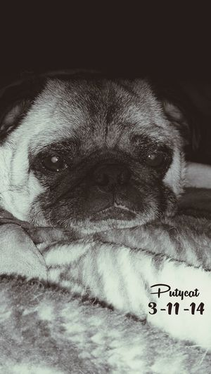 ErnieThePug Ernie loves his pic taken so u will see a lot of him. needs his own Gallery :) DiabeticPets Puglove  Dogs
