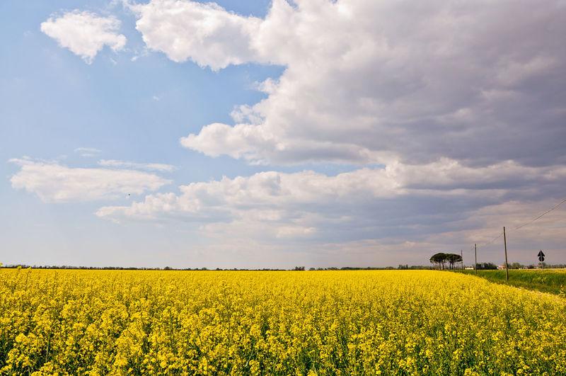 Oilseed rape farm against cloudy sky on sunny day