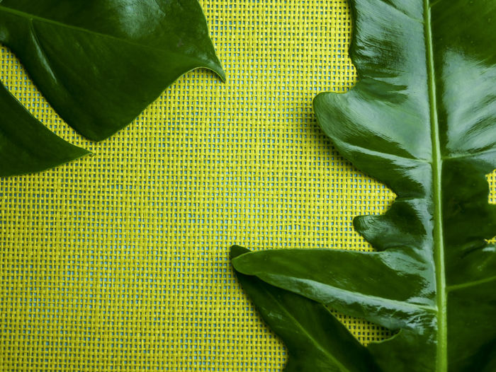 composition frame of yellow space design with part of monstera leaf and philodendron leaf Beauty Colors Green And Yellow  Passion Of Color Beauty Concept Textile Freshness Pattern Spa Treatment Spa Day  Spa Time Space For Text Simple Photography Easy Life Cozy Place Wellbeing Monstera Leaf Philodendron, Leaf, Selloum, Plant, Green, Tropical, Garden, Nature, Big, Large, Bipinnatifidum, Background, Outdoor, Forest, Foliage, Botany, Tree, Beautiful, Design, Leaves, Summer, Texture, Bush, Natural, Patterns, Environment, Flora, Jungle, Lush;