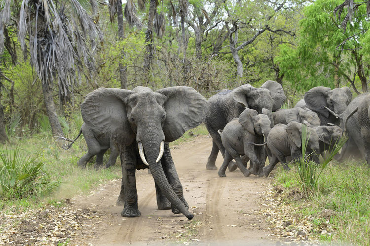 Elephants with calves on dirt road at forest