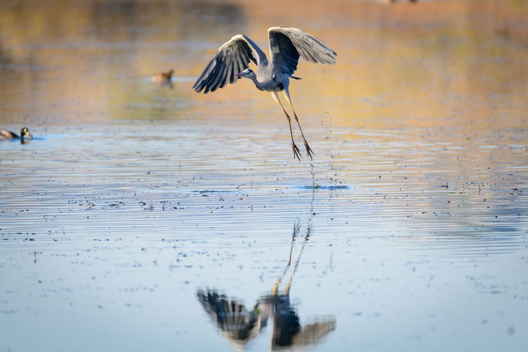 Heron taking off from Lago Alviano, Italy Lago Di Alviano Water Reflections Airone Animal Wildlife Animals In The Wild Bird Bird Reflection Bird Reflection In The Water Flying Flying Bird Flying Heron Heron Lago Lago Alviano Lake Mid-air Motion Nature One Animal Spread Wings Taking Off Water Wings Wings Outstretched Wings Spread