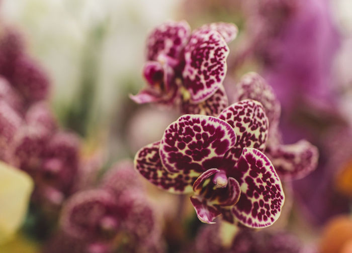 Netherlands Beauty In Nature Close-up Day Flower Flower Head Flowering Plant Focus On Foreground Fragility Freshness Growth Inflorescence Maroon Natural Condition Nature No People Outdoors Petal Plant Purple Selective Focus Spring Tranquility Vulnerability