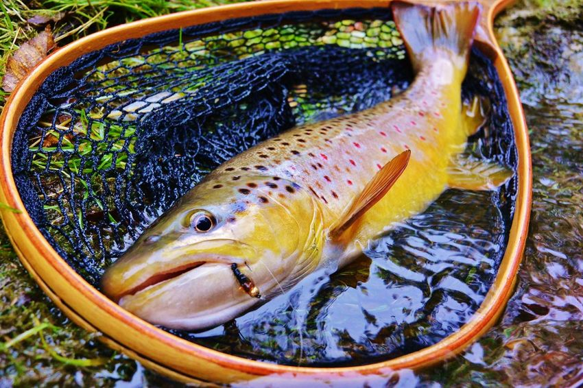 Trout Troutfishing River Flyfishing  Browntrout Catch And Release Nikon1aw1