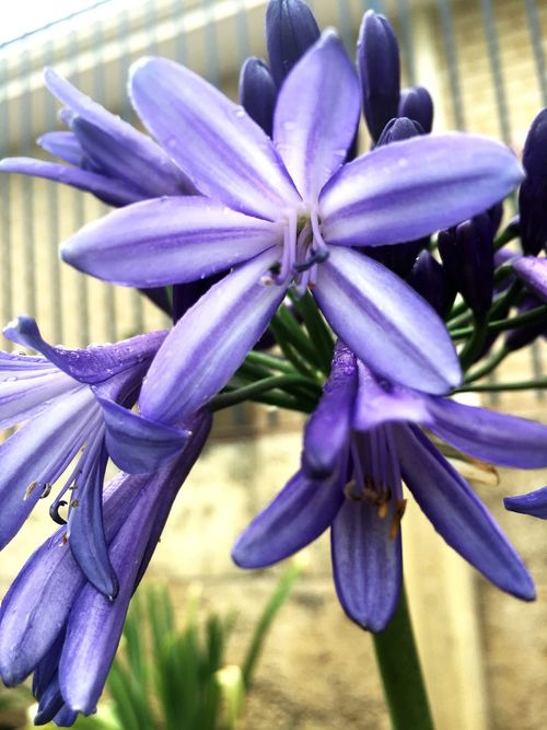 Flower Fragility Beauty In Nature Purple Freshness Petal Nature Flower Head Growth Close-up Blue Plant Blooming No People Day Outdoors