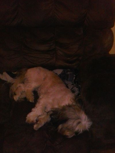 my dog being hella lazy, dude crashed on my momz couch -_- lucky
