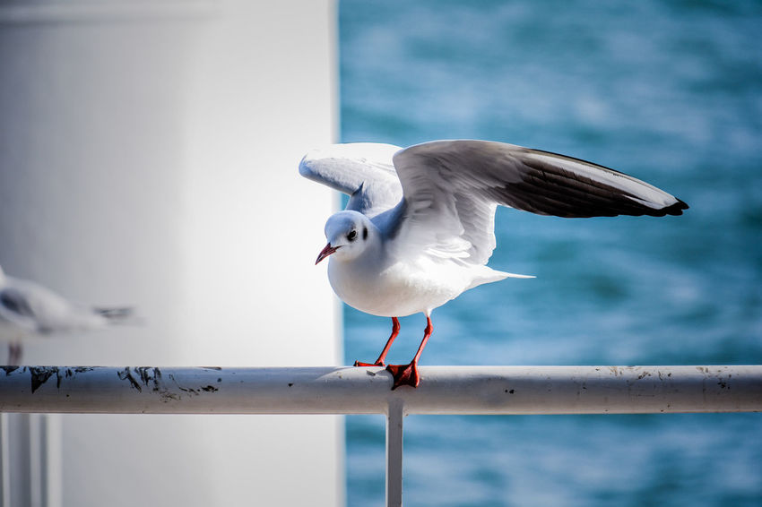 Bird Animal Themes Animal Vertebrate Animal Wildlife Animals In The Wild One Animal Seagull Railing Focus On Foreground Perching Day Water No People Nature Sea Bird Sea Outdoors Beak