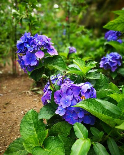 Flower Purple Nature Fragility Plant Beauty In Nature Day Outdoors Flower Head Growth Hydrangea Leaf Green Color Petal Freshness No People Close-up Iris - Plant