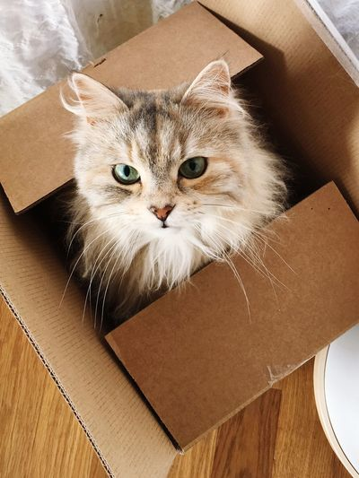 Cat in the box Packing One Animal Domestic Animals Indoors  Feline Looking At Camera Mammal Animal Themes