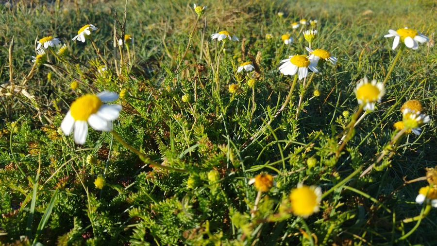 Flower Nature Growth Beauty In Nature Fragility Plant Freshness Grass No People Day Outdoors Close-up Blooming Flower Head Animal Themes Sunset_collection Galicia, Spain Horizon Faro Roncudo Green Color Camomile
