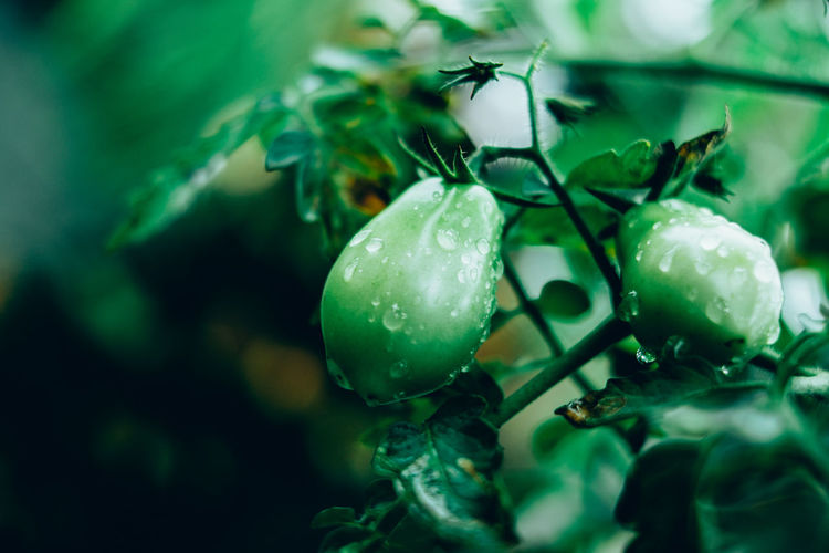 Tomatoes growing on plant during rainy season