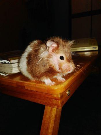 EyeEm Nature Lover EyeEmNewHere EyeEmAnimalLover Hamster Hamster Life Hamster 💞 Hamstergram Hamster Posing Helloworld