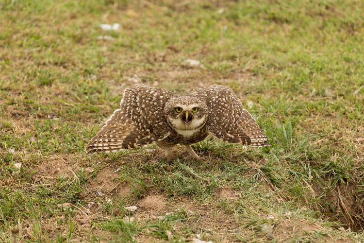 Owl One Animal Animals In The Wild Animal Wildlife Threatened Species Outdoors Animal Themes Grass Nature Day Alertness Alert Attacking  Animal No People