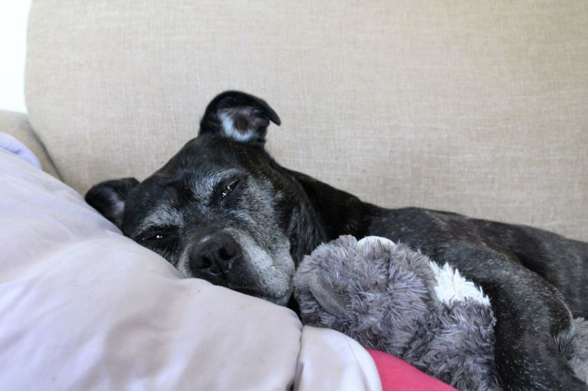 Cute Dog  Sleepy Dog Dog Love Dog Doglover Staffylovers Staffies There Softer Than You Think Staffy