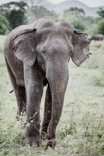 Sri Lanka African Elephant Animal Animal Body Part Animal Family Animal Themes Animal Trunk Animal Wildlife Animals In The Wild Asian Elephant Day Elephant Field Focus On Foreground Herbivorous Land Mammal Minneriya National Park Nature No People One Animal Outdoors Plant Safari Tree Vertebrate
