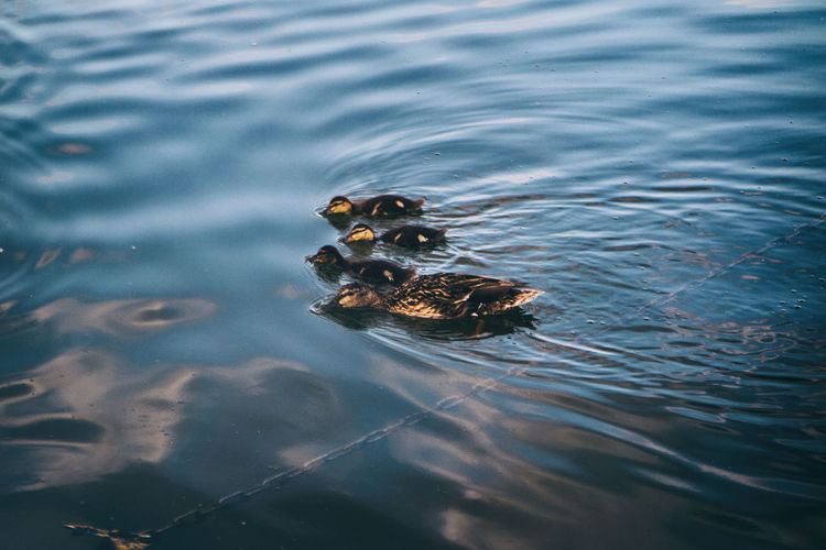 Close-up of ducklings swimming in water